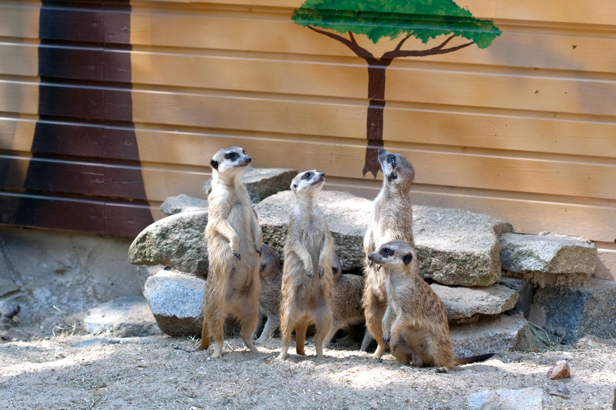 Erdmännchen im Tier- und Freizeitpark Germendorf. (c) CHICKENONSPEED